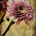 Chrysanthemum by Michelle Frizzell-Thompson
