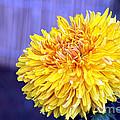 Chrysanthemum by Pravine Chester