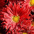 Chrysanthemums  by Pravine Chester