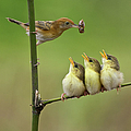 Cici Red Bird by Photowork by Sijanto