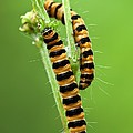 Cinnabar Moth Caterpillars by Jerzy Gubernator