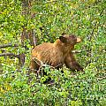 Cinnamon Black Bear Limited Edition by Greg Norrell