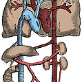 Circulatory System by Science Source