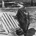 Civil War: Eagle Mascot by Granger
