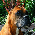 Classic Boxer by Susan Herber