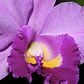 Classic Purple Orchid by Phyllis Denton