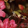 Clear Wing Hummingbird Moth 1 by Lara Ellis