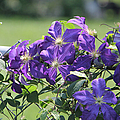 Clematis by Ericamaxine Price