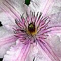 Spectacular Pink Clematis by Jean Noren