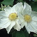 Clematis 'lemon Chiffon' Flowers by Adrian Thomas