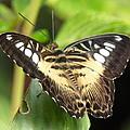 Clipper Butterfly by Lynn Bolt