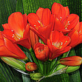 Clivia by Dave Mills