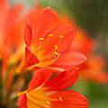 Clivia In The Conservatory by Mike Reid