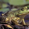 Close-up Of A Bullfrog by Natural Selection Bill Byrne