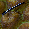 Close-up Of A Goby On Coral, Belize by Todd Winner