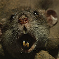 Close Up Of A Rats Fast-growing Teeth by James L. Stanfield