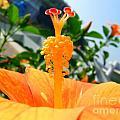 Close Up Of A Rose Mallow by Yali Shi