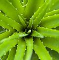 Close-up Of Aloe Plant, Atlantic Forest, Ilha Do Mel, Parana, Brazil by Chris Hendrickson