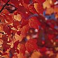 Close-up Of Autumn Leaves by Raymond Gehman