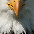 Close Up Of Bald Eagle by Lynn Koenig
