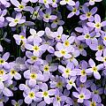 Close-up Of Bluet Flowers Houstonia by Bates Littlehales
