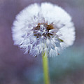Close Up Of Dandelion Flower by Pamela N. Martin