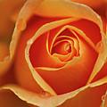 Close Up Of Rose by Junichi Ishito