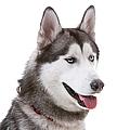 Close-up Of Siberian Husky by Lane Oatey/Blue Jean Images