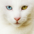 Close Up Of White Cat by Blink