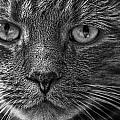 Close Up Portrait Of A Cat by Randall Nyhof