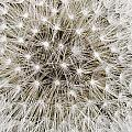 Close View Of A Dandelion Seed Head by Sylvia Sharnoff
