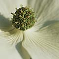 Close View Of A Dogwood Blossom by Darlyne A. Murawski
