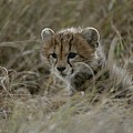 Close View Of A Juvenile Cheetah by Roy Toft