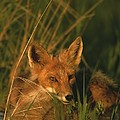 Close View Of A Red Fox At Rest by Roy Toft