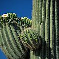 Close View Of A Saguaro Cactus Saguaro by Raymond Gehman