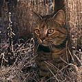 Close View Of A Tabby Cat by Medford Taylor