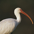 Close View Of A White Ibis by Joel Sartore