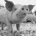 Close View Of A Young Pig In A Snowy by Joel Sartore