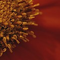 Close View Of A Zinnia by Raul Touzon