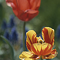 Close View Of Blossoming Tulips by Darlyne A. Murawski