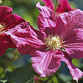 Close View Of Clematis Flowers by Darlyne A. Murawski