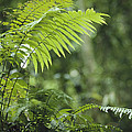 Close View Of Ferns In A Papua New by Klaus Nigge