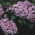 Close View Of Flowering Mountain Laurel by Darlyne A. Murawski