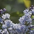 Close View Of Hyacinth Lilacs Syringa by Darlyne A. Murawski