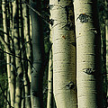Close View Of Several Aspen Tree Trunks by Joel Sartore