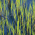 Close View Of Water Grasses Growing by Skip Brown