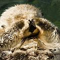 Closeup Of A Captive Sea Otter Covering by Tim Laman
