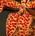 Closeup Of An Orchid, Renanthera Twin by Stephen Sharnoff