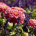 Closeup Of Colorful Flowers In Butchart by Tim Laman