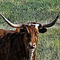 Closeup Of Texas Longhorn by Alan Hutchins